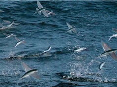 Clip: Cá dùng vây bay như chim, trốn thoát kẻ thù ngoạn mục