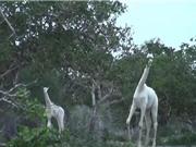 Clip: Cận cảnh hai mẹ con hươu cao cổ quý hiếm bậc nhất Kenya
