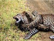 CLIP ĐỘNG VẬT ĐẠI CHIẾN ẤN TƯỢNG NHẤT TUẦN: Tê giác tấn công voi, trăn sát hại báo
