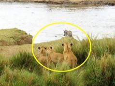 Clip: Đàn sư tử bất lực nhìn ngựa vằn chạy thoát