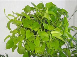 10 loại cây nội thất giúp loại trừ nguy cơ ung thư, tốt cho phong thủy