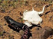 Clip: Thằn lằn quỷ gai dùng tuyệt chiêu khiến rắn độc hết muốn ăn