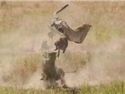Clip: Lợn rừng phản đòn báo săn, cứu con thoát chết ngoạn mục