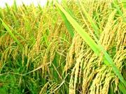 Con số vàng và sự đẻ nhánh của cây lúa