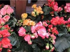 Tự trồng và chăm sóc thu hải đường cho hoa nở rực rỡ