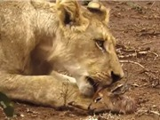 Clip: Sư tử cái cứu linh dương Impala thoát khỏi nanh vuốt báo hoa mai