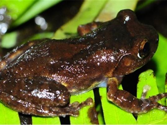 Phát hiện loài ếch cây mới tại Sa Pa