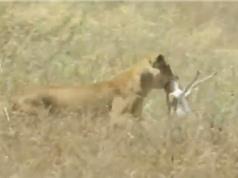 Clip: Rình rập tài tình, sư tử dễ dàng bắt được linh dương Impala
