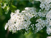 Chiêm ngưỡng vẻ đẹp của hoa sơn tra