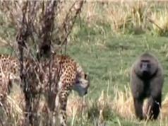 Clip: Khỉ đầu chó liều mình cứu sống linh dương Gazen