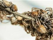 Nhện 'trinh nữ' hiến thân làm mồi cho đàn nhện con