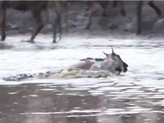 Clip: Chủ quan, linh dương đầu bò bị cá sấu ăn thịt