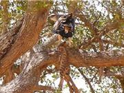 Clip: Đại bàng xé xác báo con trên cây