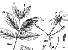 Phát hiện loài hoa nhài mới ở Quảng Nam