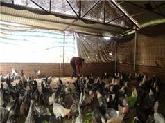 Nuôi gà, trồng rau, kiếm nửa tỷ/năm