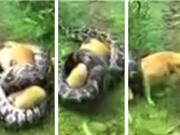 Clip: Người chủ đánh trăn khổng lồ, cứu sống chú chó