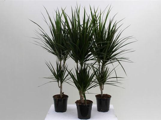 Trồng cây phất dụ lá mảnh giúp thanh lọc không khí hiệu quả