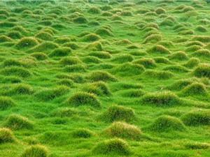 Kỹ thuật trồng và chăm sóc cỏ lông heo xanh tốt quanh năm