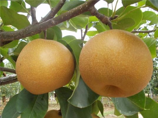 Cao Bằng ưu tiên đầu tư nâng giá trị cây ăn quả