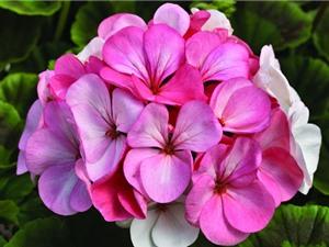 Quỳ thiên trúc - loài hoa đẹp được dùng để bào chế thuốc
