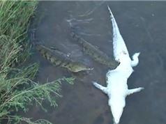 Clip: Cá sấu khổng lồ bị đồng loại xé xác