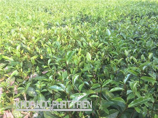 Chè búp tím Phú Thọ: Quý và đắt giá, nhưng dân không muốn trồng