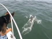 Clip: Chó nhảy xuống biển bắt cá heo cực kỳ hài hước