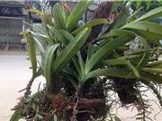 Phát triển một số loài lan rừng quý, có giá trị kinh tế ở Bắc Kạn