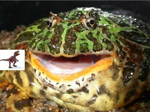 Phát hiện ếch có lực cắn mạnh như hổ, ăn thịt cả khủng long