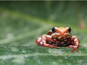 Lý giải nguyên nhân ếch độc không bị nhiễm độc