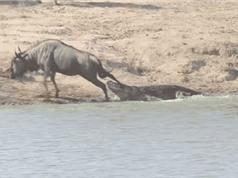 Clip: Bị cá sấu bắt, linh dương đầu bò vẫn thoát chết