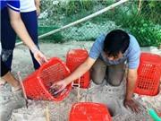 Nghiên cứu, phục hồi, bảo vệ quần thể rùa biển tại Cù Lao Chàm