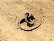 Clip: Cuộc chiến sống còn giữa 2 con rắn