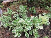 Tự trồng cây cẩm thạch, loại cây nội thất tượng trưng cho tiền bạc và tài lộc