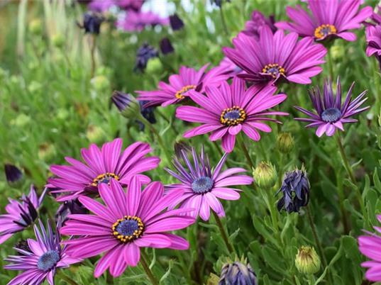 Loài hoa mang tượng trưng cho sự sung túc, vui tươi