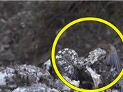 Clip: Rắn dùng đuôi giả hoa để làm bẫy bắt chim