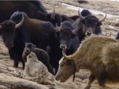 Clip: Bò Tây Tạng húc văng báo tuyết lên trời để cứu con