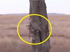 Clip: Những tình huống báo hoa mai tha xác con mồi lên cây