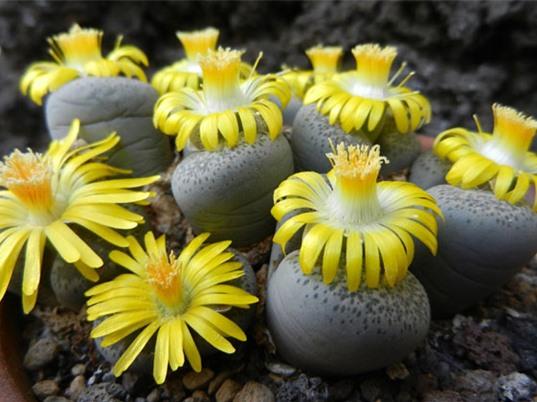 Cận cảnh vẻ đẹp của hoa sỏi - loài hoa mọc lên từ đá