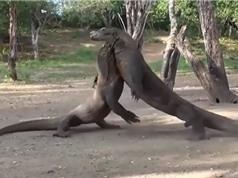 Clip: Màn đại chiến khốc liệt của rồng Komodo