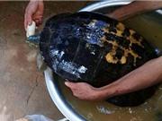 """Nghệ An: Thả rùa """"khủng"""" 16kg về tự nhiên"""