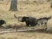 Clip: Bị đàn sói xám tấn công, gấu xám vội vàng bỏ chạy