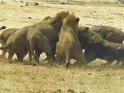 Clip: Linh dương tan xương nát thịt trước sư tử