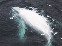 Clip: Phát hiện cá voi bạch tạng quý hiếm ở ngoài khơi Australia