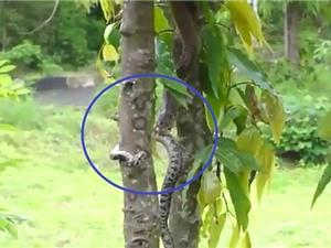 Clip: Rắn hổ mang ăn thịt trăn