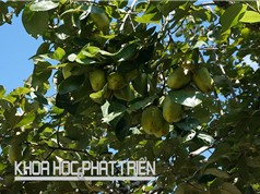 Đặc điểm nông sinh học của hồng Điện Biên