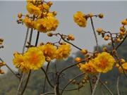 """Hoa mai đăng - loài hoa đẹp gây """"sốt"""" ở Việt Nam"""