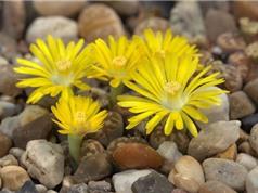 Bí quyết trồng hoa thạch lan
