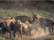 Clip: Quá ham chiến, linh dương bị linh cẩu xé xác