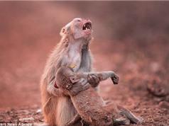 Bí ẩn quanh việc khỉ mẹ ăn thịt xác con